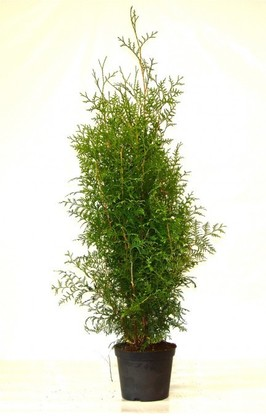 Thuja brabant Lebensbaum (Thuja occ. brabant) im Container, 125-150cm