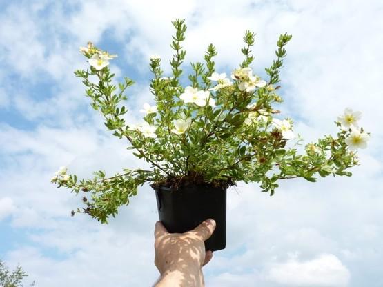 Weißer Fünffingerstrauch, Potentilla fruticosa 'mandshurica', 15-30cm