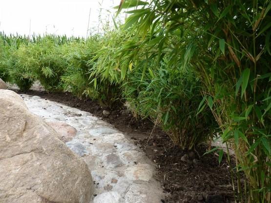 hecken aus bambus bambus fargesia murielae direkt vom. Black Bedroom Furniture Sets. Home Design Ideas