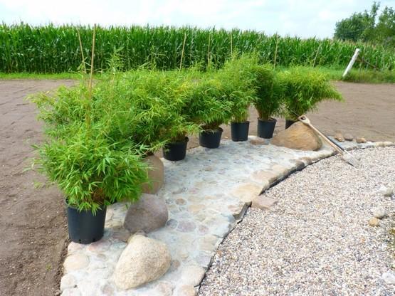 Grosse Bambus Fargesia Super Jumbo Direkt Kaufen