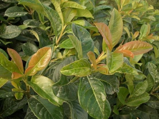 Kirschlorbeer Etna (Prunus lauroc. Etna) im 7,5L Container, 80-100cm