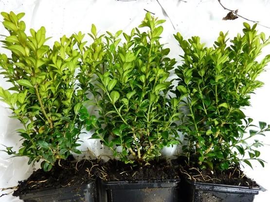 Buchsbaum (Buxus sempervirens) im Container, 20cm