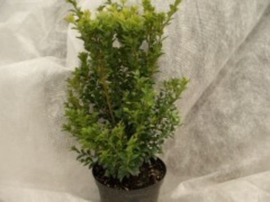 Buxus sempervirens/Buchsbaum 20-30