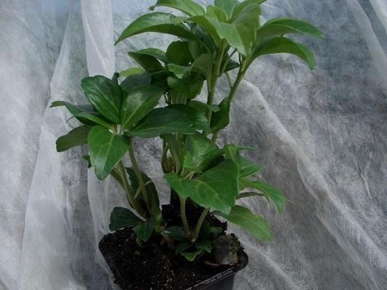Pachysandra Terminalis (Dickmännchen, Schattengrün)