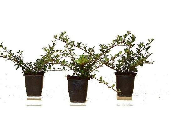 Bodendecker Cotoneaster dammeri 'Eichholz'