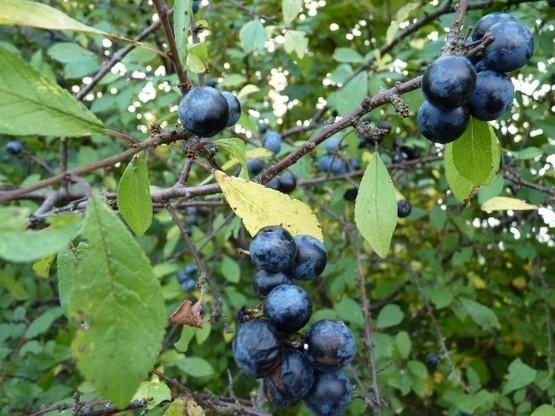 Schlehe, Schwarzdorn, lat. 'Prunus Spinosa', 50-80 cm groß im 1L Container
