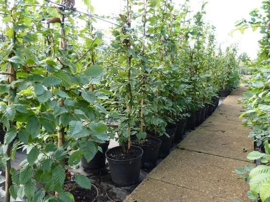 hainbuche carpinus betulus 80 100cm im container. Black Bedroom Furniture Sets. Home Design Ideas