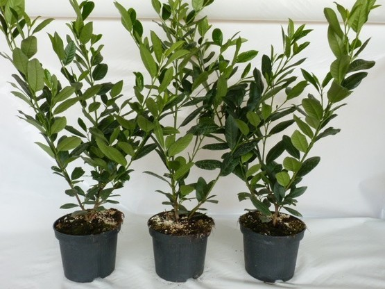 Kirschlorbeer Diana (Prunus laurocerasus 'Diana'), 40-60cm, Container