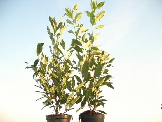 Kirschlorbeer Herbergii (Prunus laurocerasus) im Container, 60-80cm