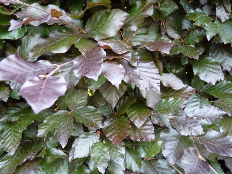 Blutbuche, Fagus sylvatica 'purpurea', Freilandware