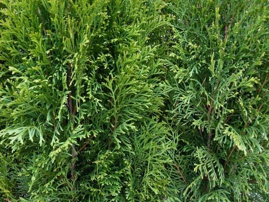 Thuja smaragd Lebensbaum (Thuja occ. smaragd)  im C3 Container, 50-60cm