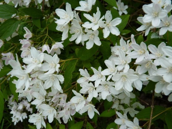 Bodendecker Deutzia 'gracilis'