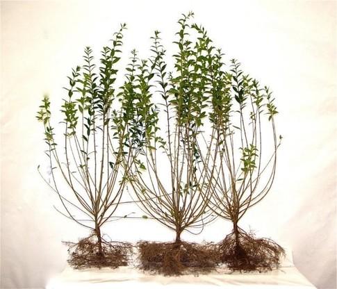 Liguster 'Ligustrum vulgare Atrovirens', wurzelnackt