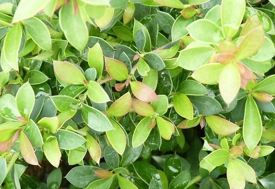 Grüne Polsterberberitze (Berberis buxifolia Nana) 20-25 cm, im 1L Container