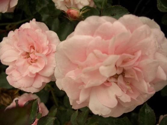 Rose 'The fairy'