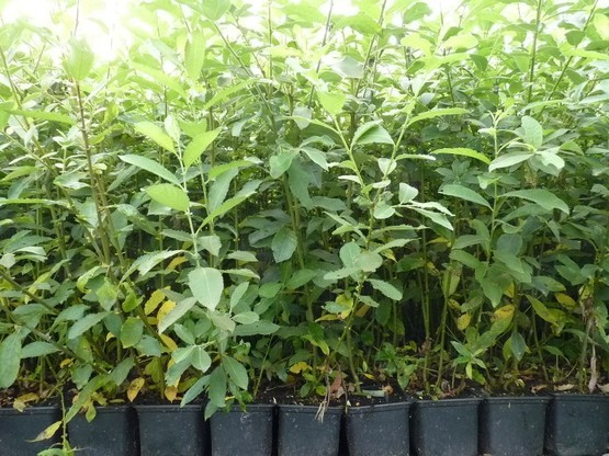Salix Caprea (Salweide), 50-80 cm groß im 1L Container