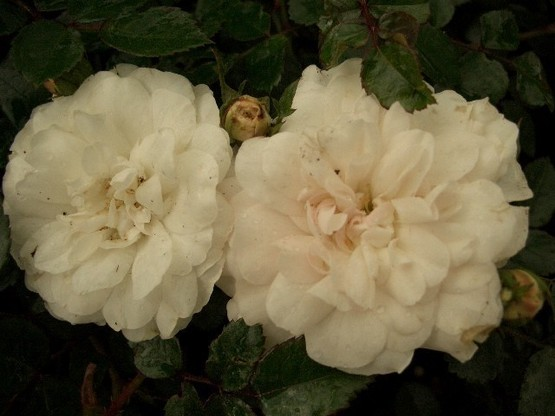 Rose 'Sea foam' (Bodendeckerrose)