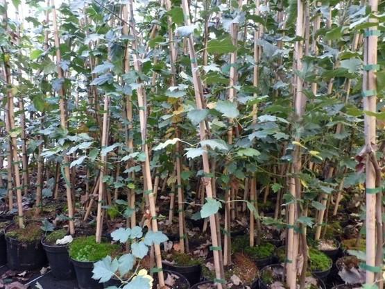 Sorbus Torminalis (Elsbeere), 80-120 cm, im Container