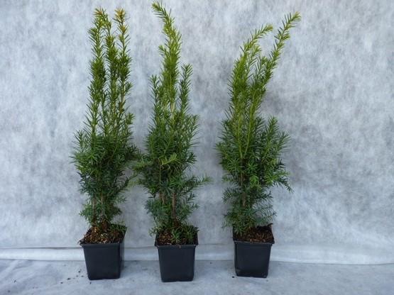 Taxus media hillii (männliche Bechereibe), 40-60 cm groß