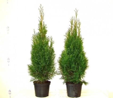 Thuja smaragd Lebensbaum (Thuja occ. smaragd)  im 3L Topf, 60-80cm
