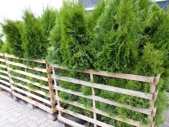 Thuja smaragd Lebensbaum (Thuja occ. smaragd), im 7,5L Container, 125-150cm