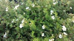 Weißer Fünffingerstrauch, Potentilla fruticosa 'mandshurica', 15-20cm, im 0,5 L Topf
