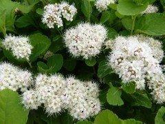 Spiraea betulifolia / Birkenblättriger Spierstrauch im 1 L Topf