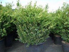 Buchsbaum (Buxus sempervirens)  im Container, 40-50cm