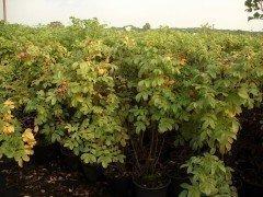 Heckenrose (Rosa rugosa) im C3 Container, 40-60 cm groß
