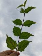 Kornelkirsche (Cornus mas) im 1L Topf, 50-80 cm groß