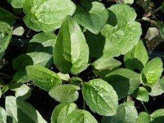 Purpursonnenhut Magnus (Echinacea purpurea Magnus) im P9 (0,5L) Topf