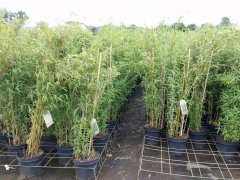 Bambus Fargesia murielae Deep Forest® im Container, 120-140 cm groß