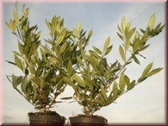 Kirschlorbeer Otto Luyken (Prunus lauroc.)  im Container, 40-60cm