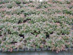 Rote Blutberberitze (Berberis thunbergii Atropurpurea Nana) 20-25 cm, im 1L Container