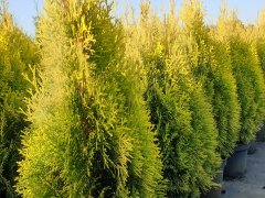 Thuja occidentalis Golden Smaragd  / Lebensbaum Golden Smaragd ®