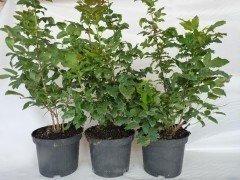 Mahonia aquifolium / Mahonie, 30-40cm, im Container - derzeit nicht verfügbar