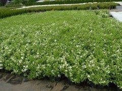 Deutzia 'gracilis', Maiblumenstrauch, 20-30cm