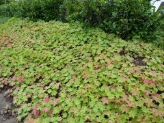 Storschnabel spessart (Geranium macrorrhizum spessart)