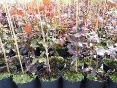 Blutbuche, Fagus sylvatica 'purpurea im Container, 125-150 cm