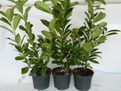 Kirschlorbeer Diana (Prunus laurocerasus 'Diana'), 100-125cm, Container