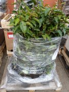 Portugiesischer Kirschlorbeer (Prunus lusitanica Angustifolia) im 3L Container, 80-100cm