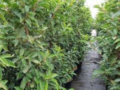 Portugiesischer Kirschlorbeer (Prunus lusitanica 'Angustifolia') im 3L Container, 80-100cm
