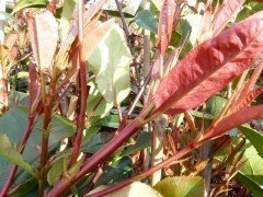 Rote Glanzmispel (Photinia Red Robin) im 3L Container, 40-60 cm