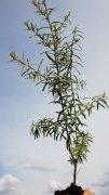 Sanddorn, Hippophae rhamnoides, 50-80 cm groß im 1L Container