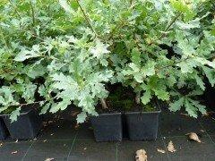 Deutsche Eiche, 'Quercus Robur', 50-80 cm groß im 1L Container