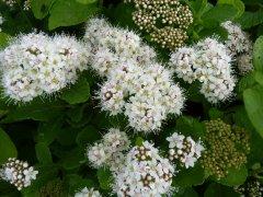 Spiraea betulifolia / Birkenblättriger Spierstrauch, 20-30 cm, im 1 L Topf