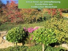 Kleines Immergrün (Vinca minor) im P9 Topf