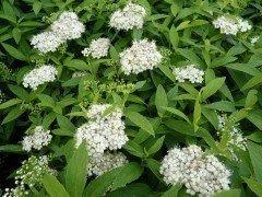 Spiraea Albiflora / Weiße Zwergspiere im 1 L Topf