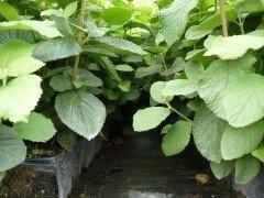 Wolliger Schneeball, Viburnum lantana, im Container, 50-80cm