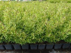 Liguster 'Ligustrum vulgare Lodense', im Container